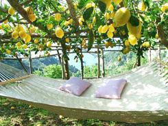 Lemon Groves